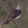 Louisiana Waterthrush calling - Lake Hope State Park, Ohio