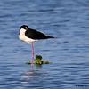 A snoozing Black-necked Stilt- STA-1E  Wellington, FL