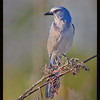 Formal portrait of the Florida Scrub Jay - Merritt Island NWR