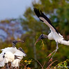 A Woodstork bring home some nesting material to a welcoming group- Wakodahatchee Wetlands, Delray Beach, FL
