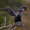 Neotropic Cormorant - Wakodahatchee Wetlands, Boynton Beach, FL.
