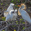 A Cattle Egret family - Wakodahatchee Wetlands