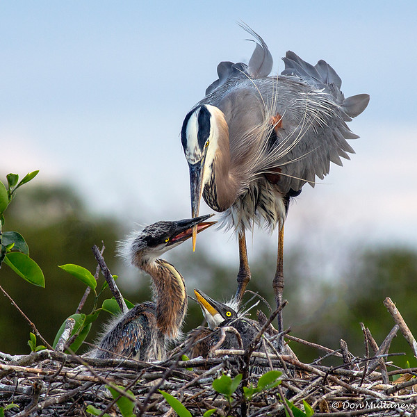 A Great Blue Heron family - Wakodahatchee Wetlands, Delray Beach, FL