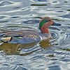 Green-winged Teal - Green Cay, FL