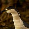 Black-crowned Night Heron - Wakodahatchee