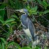 Adult Tri-colored Heron with three chicks- Wakodahatchee Wetlands, Delray Beach, FL