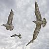 Gulls in Flight - Titusville Causeway, FL