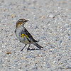 Yellow-rumped Warbler sitting in the middle of the road - STA-1E, Wellington, FL
