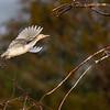Cattle Egret landing - Wakodahatchee Wetlands, Delray Beach, FL
