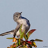 A pretty Blue-gray Gnatcatcher- Peaceful Waters, Wellington, FL