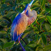 Tri-colored Heron in breeding plumage- Wakodahatchee Wetlands, Delray Beach, FL