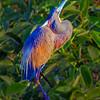 Tri-colored Heron in breeding plumage- Wakodahatchee Wetlands, Delray Beach, FL