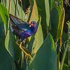 Purple Gallinue - Green Cay Wetlands
