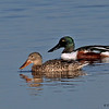 A pair of Northern Shovelers- STA-1E  Wellington, FL