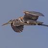 Great Blue Heron - Wakodahatchee Wetlands, Delray Beach, FL