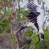 Another Woodstork! - Loxahatchee NWR