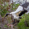 The Woodstork is getting ready to plunge in. - Loxahatchee NWR