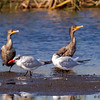 Cormorants and Caspian Terns - STA1-E