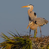 A nesting pair of Great Blue Herons - Viera Wetlands, FL