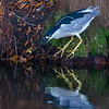 Black-crowned Night Heron fishing- Wakodahatchee Wetlands, Delray Beach, FL