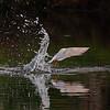 A Forster's Tern making a splash- Wakodahatchee Wetlands, Delray Beach, FL