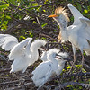 Adult Cattle Egret with hungry chicks - Wakodahatchee Wetlands