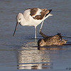 An American Avocet and a female Blue-winged Teal feeding together. STA-1E