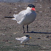 A visual of the sizes of both the Caspian Tern and the Least Tern - STA-1E Wellington, FL