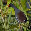 Common Gallinue (formerly Moorhen) - Wakodahatchee Wetlands, FL