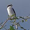 Loggerhead Shrike- Wellington Environ. Preserve, FL