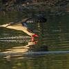 A Skimmer skimming - STA-1E, Wellington, FL