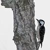 Red-cockaded Woodpecker - DuPuis Management Area, Port Mayaca, FL