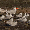 A mixed group of terns, the large Caspian Tern in the rear and the smaller Gull-billed Tern in the foreground. - STA-1E
