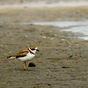 Semi-palmated Plover - Snook Island, FL
