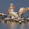 A trio of White Pelicans with Caspian Terns- STA-2, Belle Glade, FL