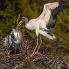 A nesting Wood Stork bringing in some building material- Wakodahatchee Wetlands, Delray Beach, FL