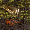 Louisiana Waterthrush - Loxahatchee NWR