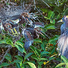 Tri-colored Heron with chicks- Wakodahatchee Wetlands, Delray Beach, FL