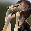 Anhinga Chicks feeding - Wakodahatchee Wetlands