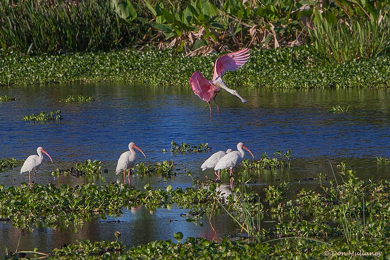 A Roseate Spoonbill landing among a group of White Ibis- Peaceful Waters Sanctuary, Wellington, FL