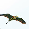 A Great Blue Heron flying over the food fest - Loxahatchee NWR