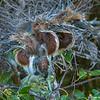 Three Tri-colored Heron chicks - Wakodahatchee Wetlands, Delray Beach, FRL