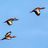 A Black-bellied Whistling Duck flyover- Wakodahatchee Wetlands, Delray Beach, FL