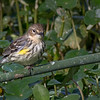 A cute little Yellow-rumped Warbler- Wakodahatchee Wetlands, Delray Beach, FL