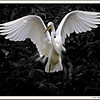 This Great Egret , taken a couple of years ago, welcomes you to Florida 2009/2011.