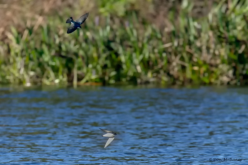 A pair of Tree Swallow skimming the water - Peaceful Waters Sanctuary, Wellington, FL