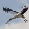 Wood Stork in flight with nesting material - Wakodahatchee Wetlands, Delray Beach, FL
