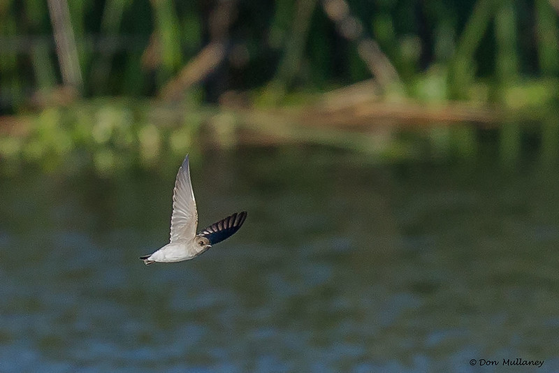 Northern Rough-winged Swallow - Peaceful Waters Sanctuary, Wellington, FL