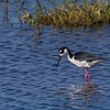 A Black-necked Stilt - STA-1E Wellington, FL