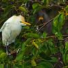 Cattle Egret in breeding plumage - Wakodahatchee Wetlands, FL